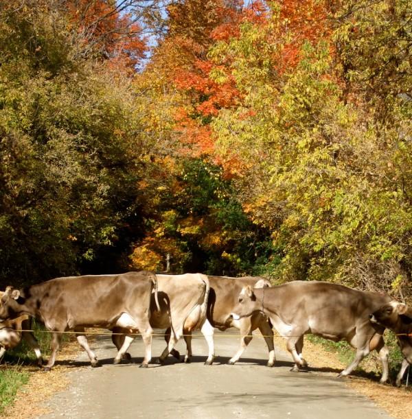 cricket_creek_farm_cows
