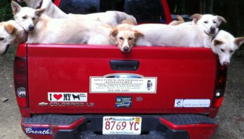 Hilltown mushers - dogs in the back of a red pickup truck