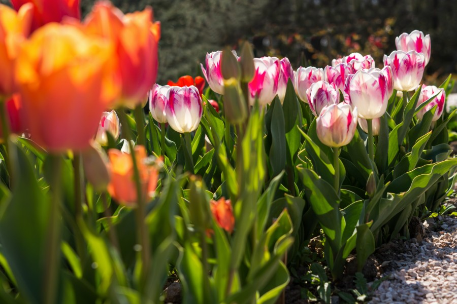 colorful tulips in garden in the Berkshires